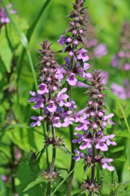 200809 marsh woundwort (1)