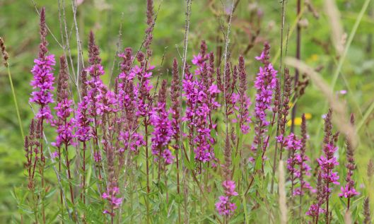 200809 purple loosestrife