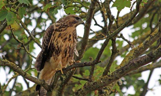 200810 buzzard (1)