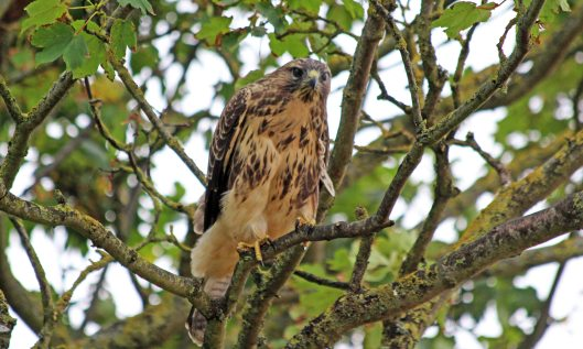 200810 buzzard (2)