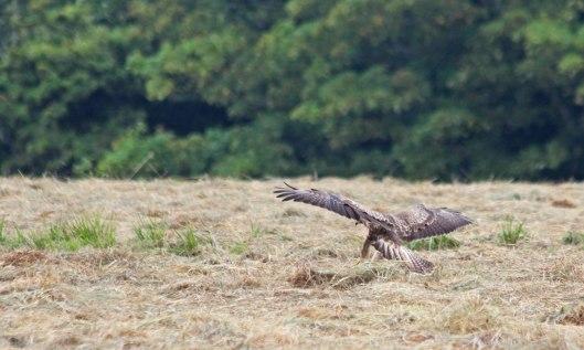 200810 buzzard (3)
