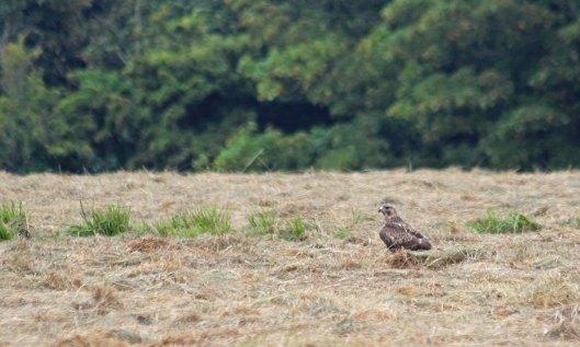 200810 buzzard (4)
