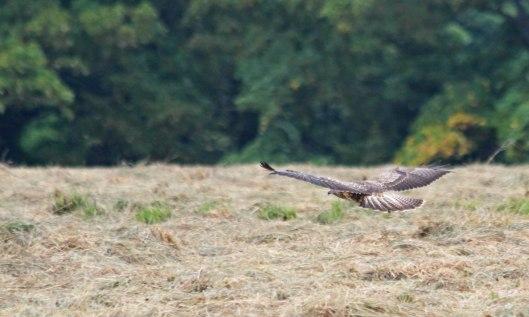200810 buzzard (5)