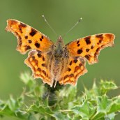 200812 birdpecked 1 comma