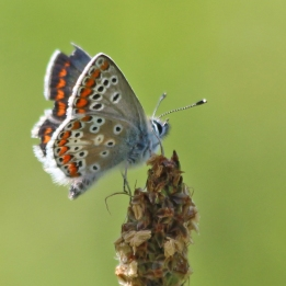 200812 faded brown argus 0108
