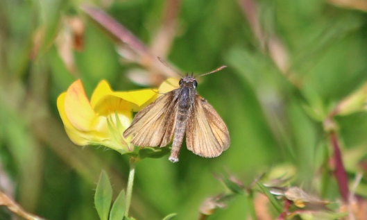200812 faded essex skipper