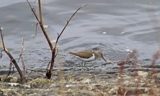 200817 common sandpiper (1)