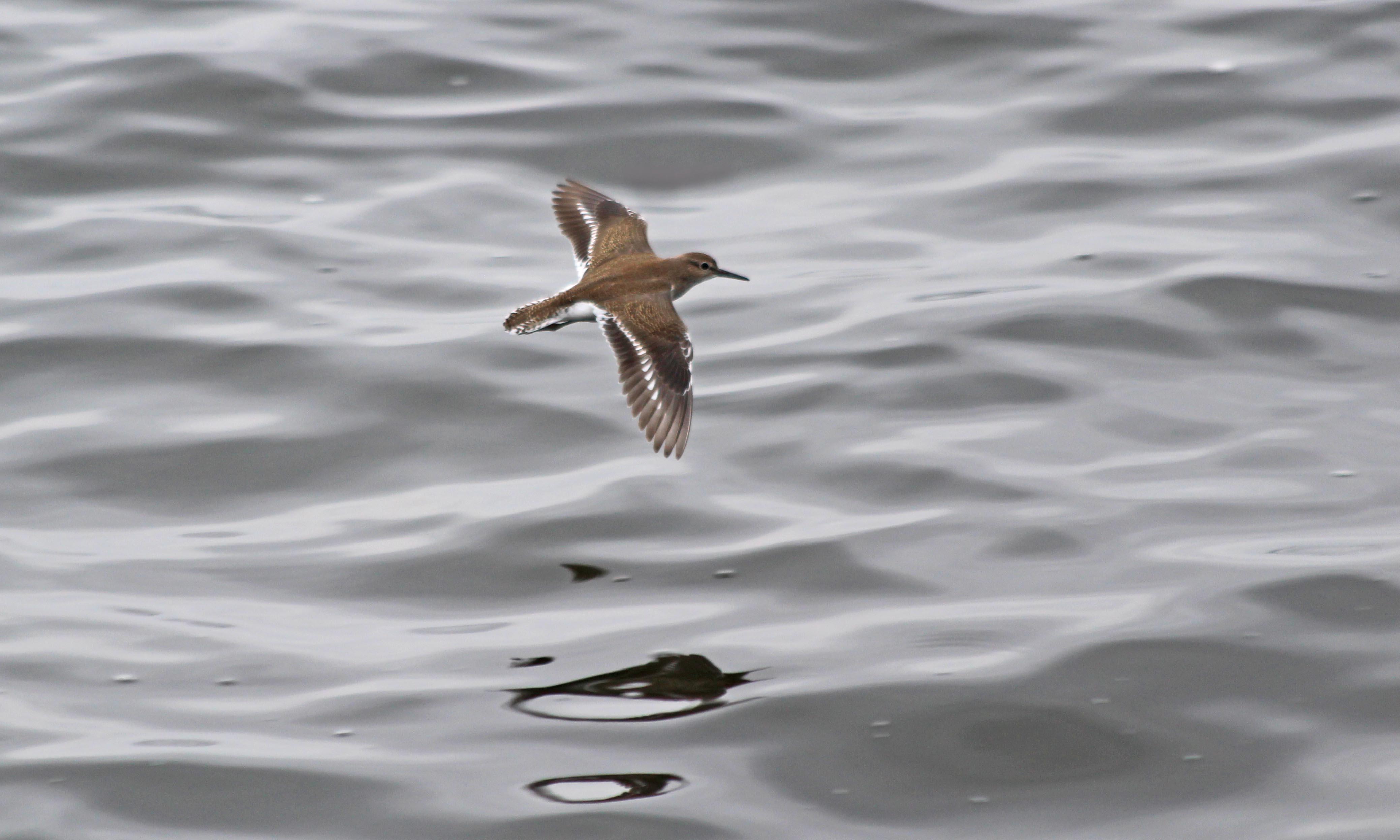 200817 common sandpiper (2)