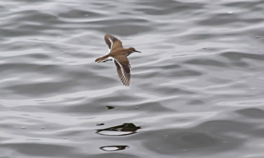 200817 common sandpiper (2)