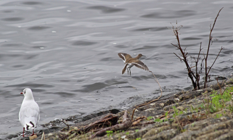 200817 common sandpiper (3)