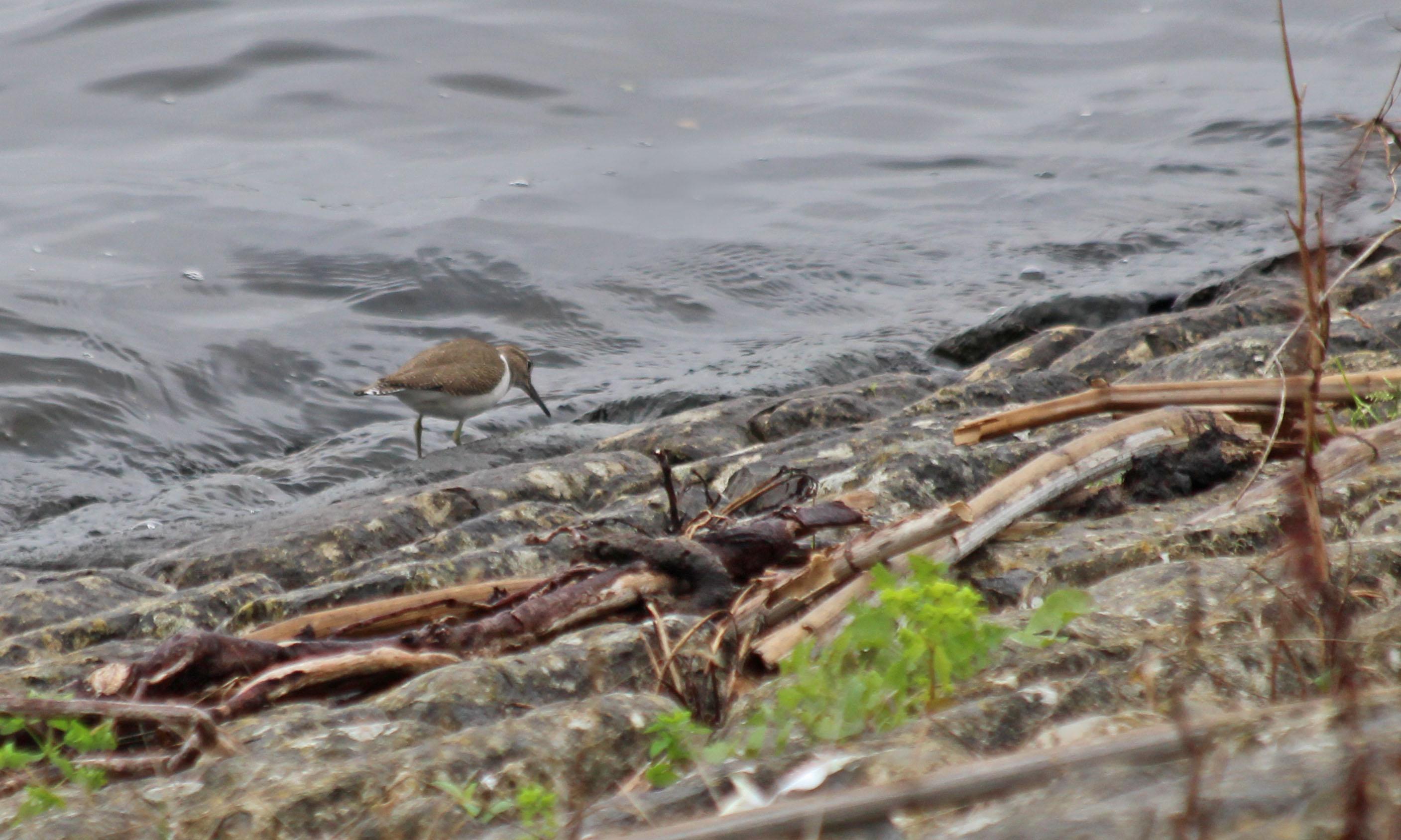200817 common sandpiper (4)