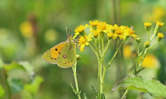 200819 clouded yellow (2)