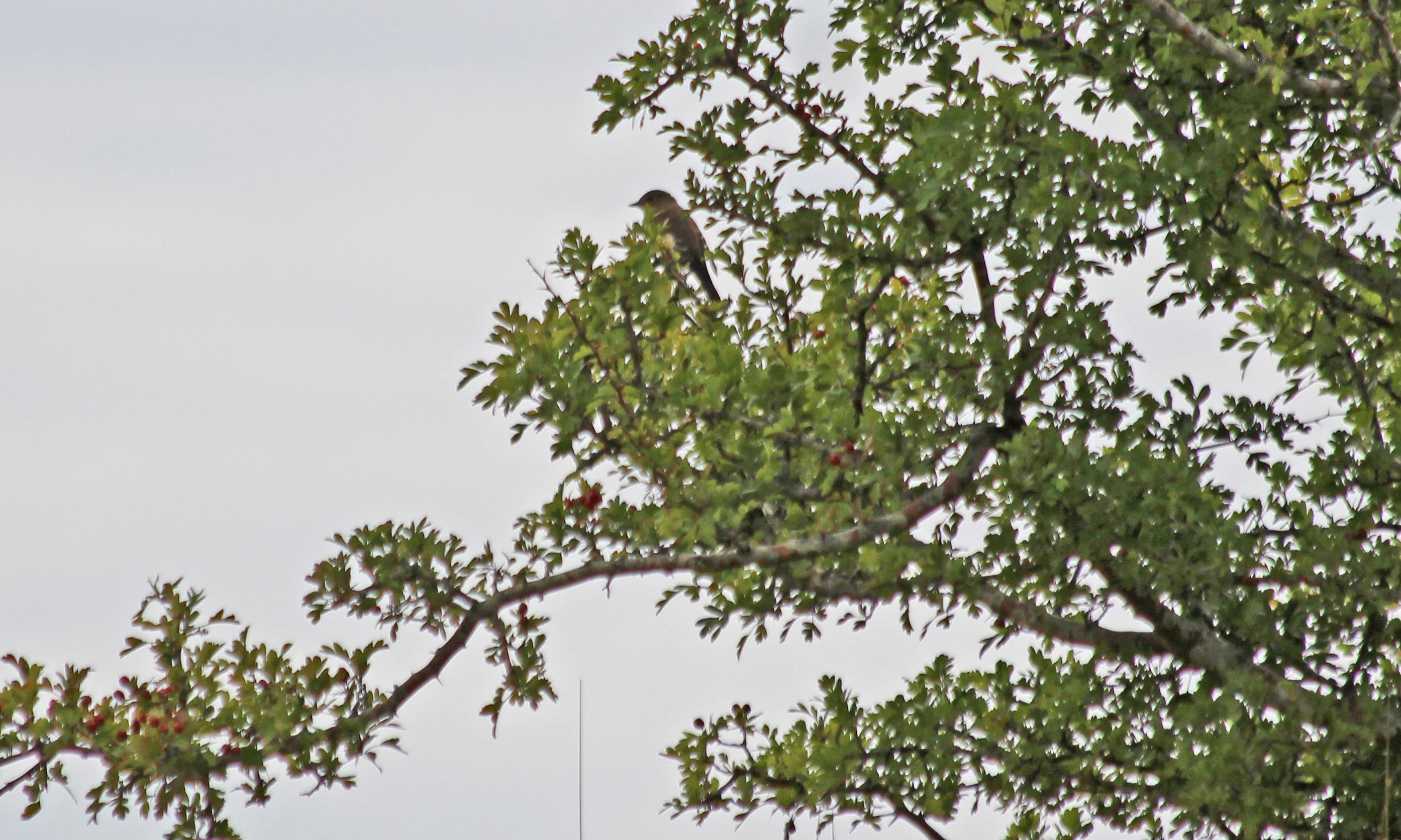 200820 pied flycatcher