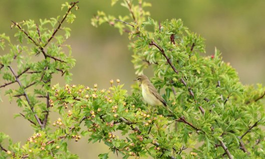 200820 willow warbler