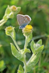 200823 b common blue