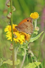 200823 b meadow brown