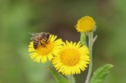 200823 honey bee