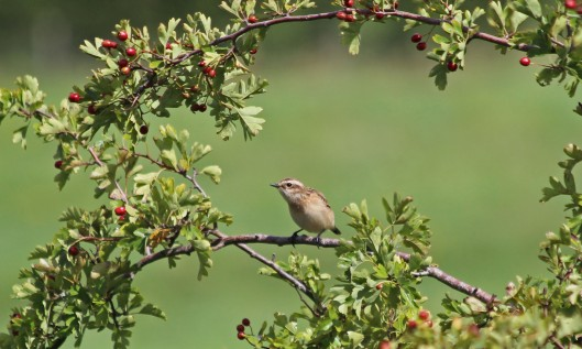 200824 whinchat (1)