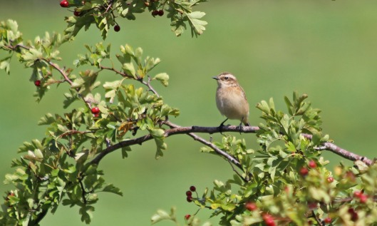 200824 whinchat (2)