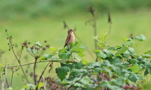 200824 whinchat (4)