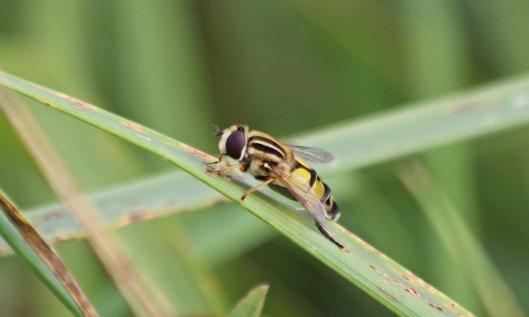 200827 helophilus trivittatus (2)