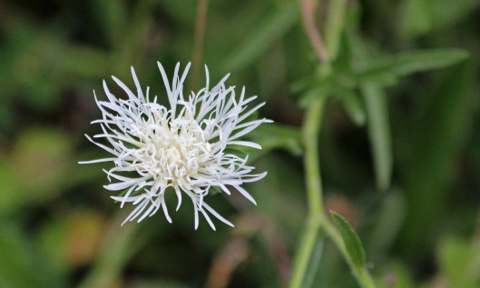 200830 white knapweed (1)