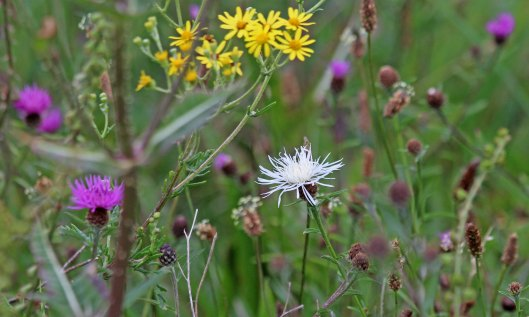 200830 white knapweed (2)