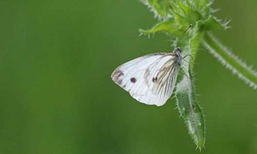200831 green-veined white
