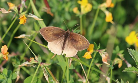 200831 meadow brown