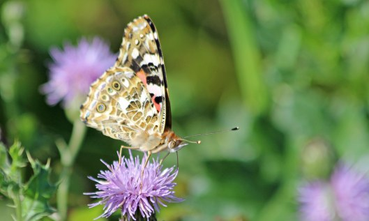 200831 painted lady