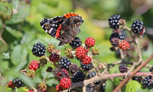 200831 red admiral