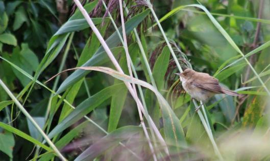200901 reed warbler (1)