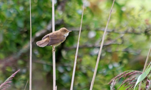 200901 reed warbler (2)