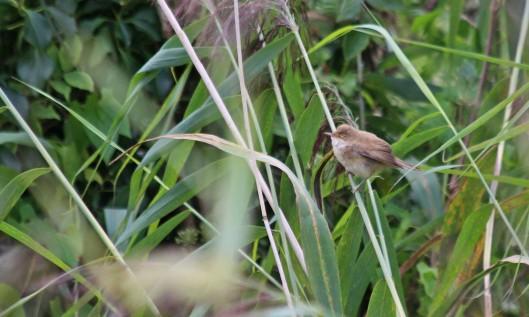 200901 reed warbler (3)