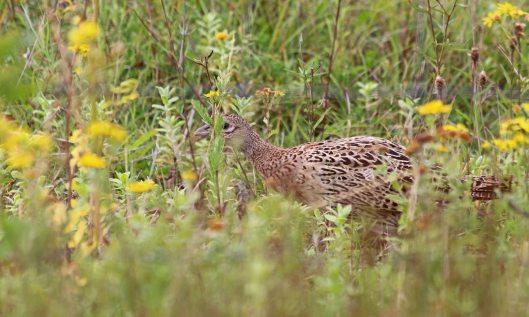 200904 pheasant (2)