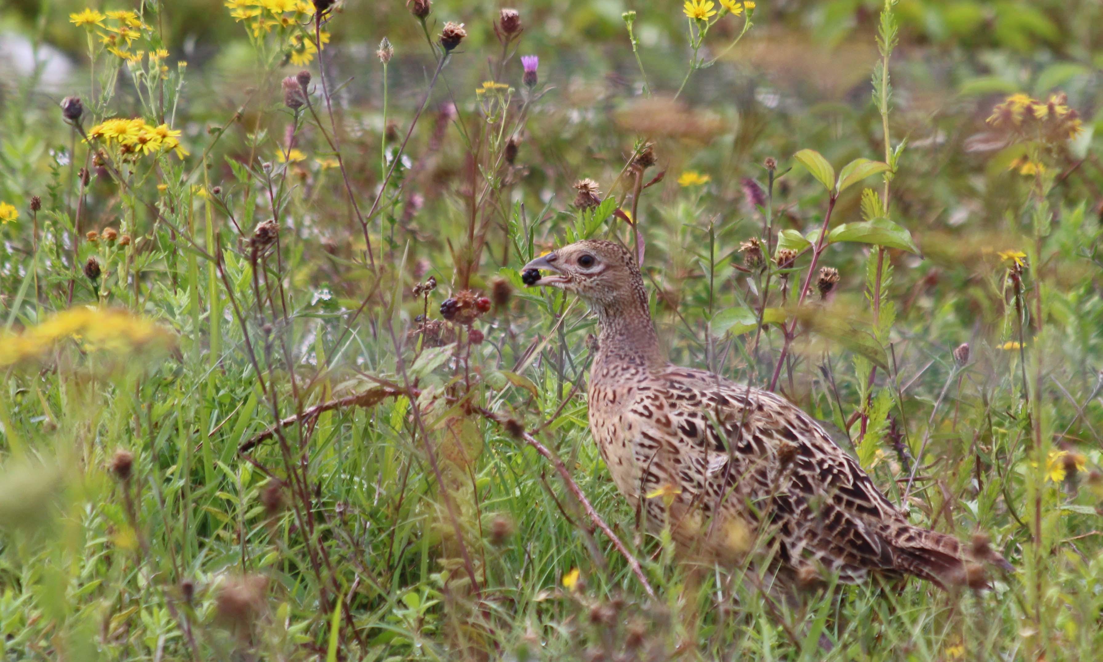 200904 pheasant (3)