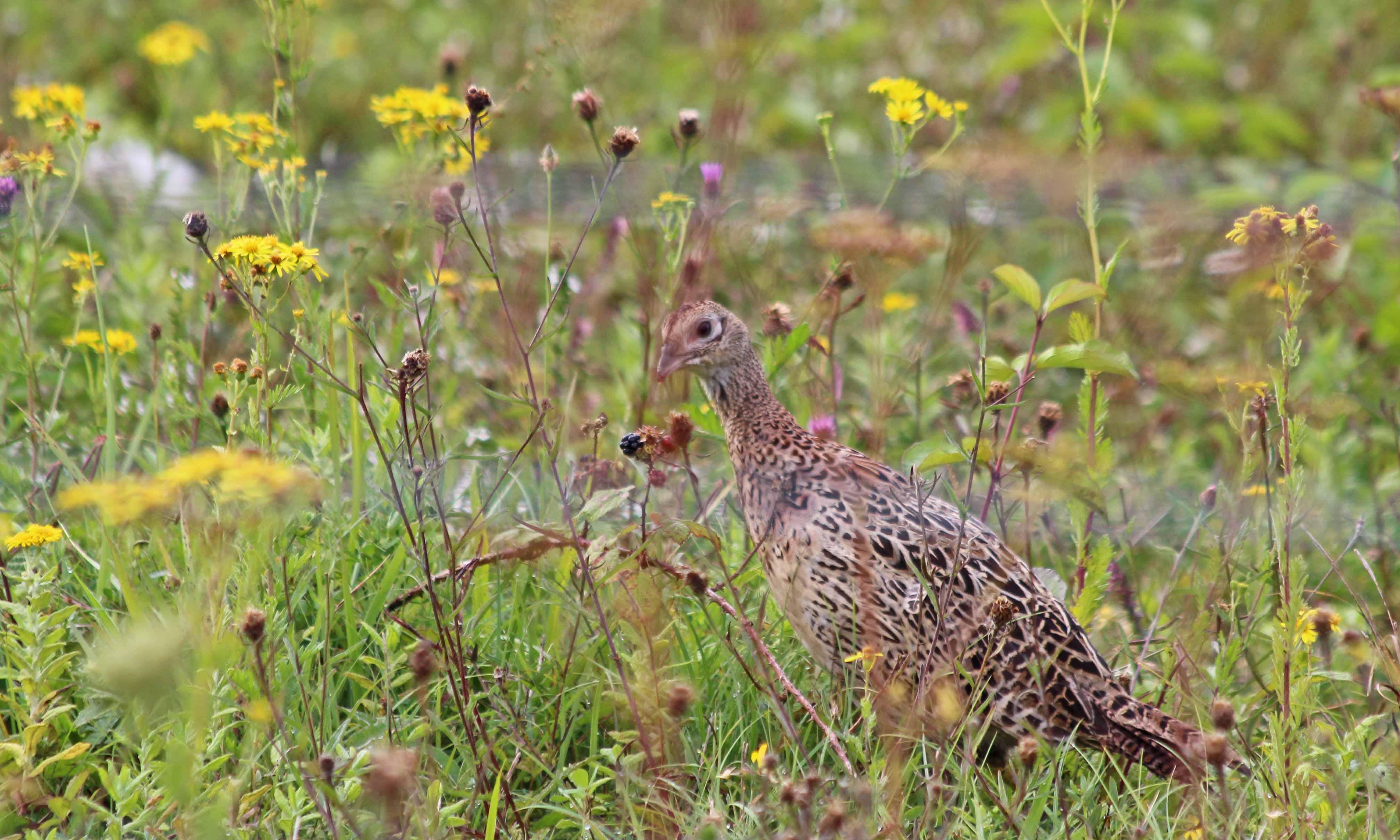 200904 pheasant (4)