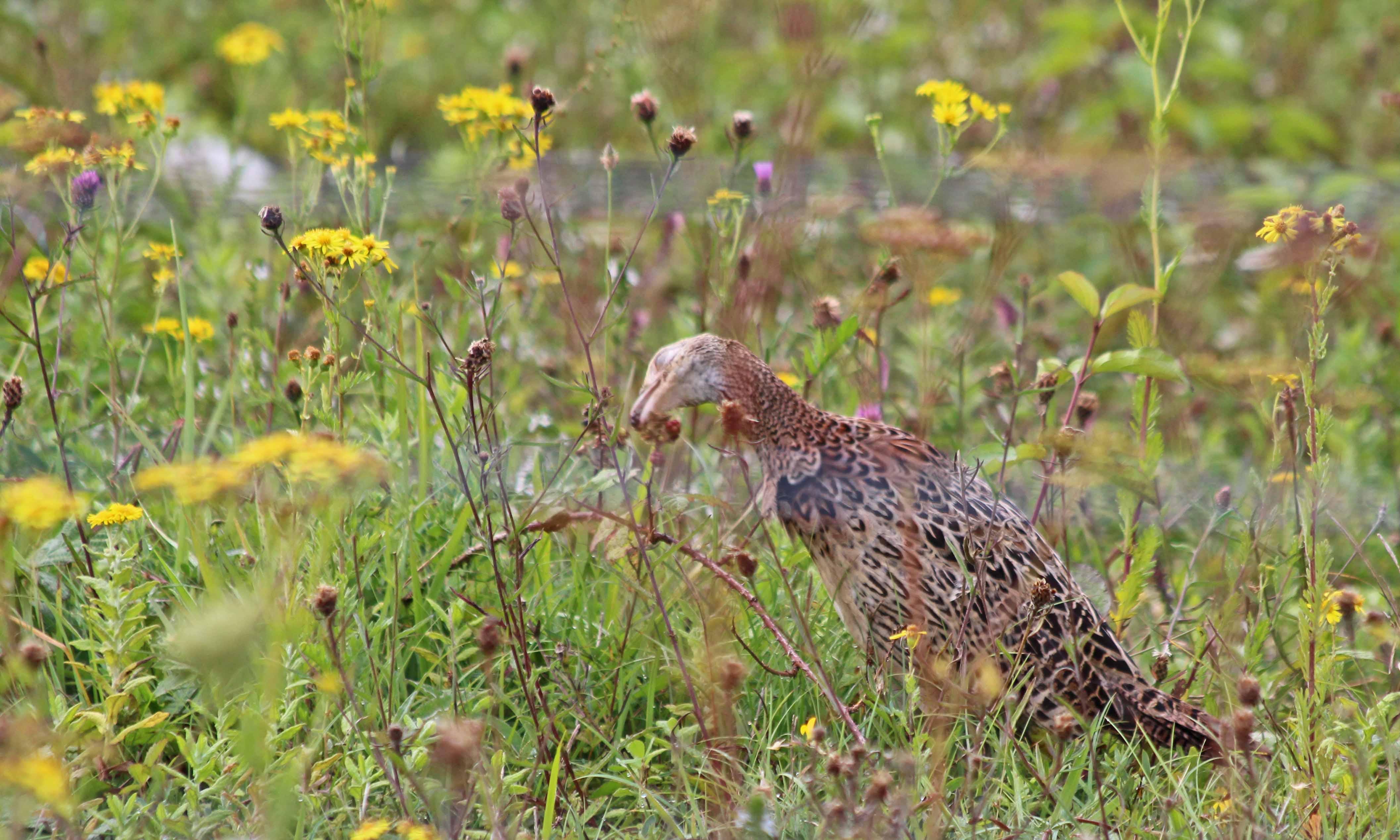 200904 pheasant (5)
