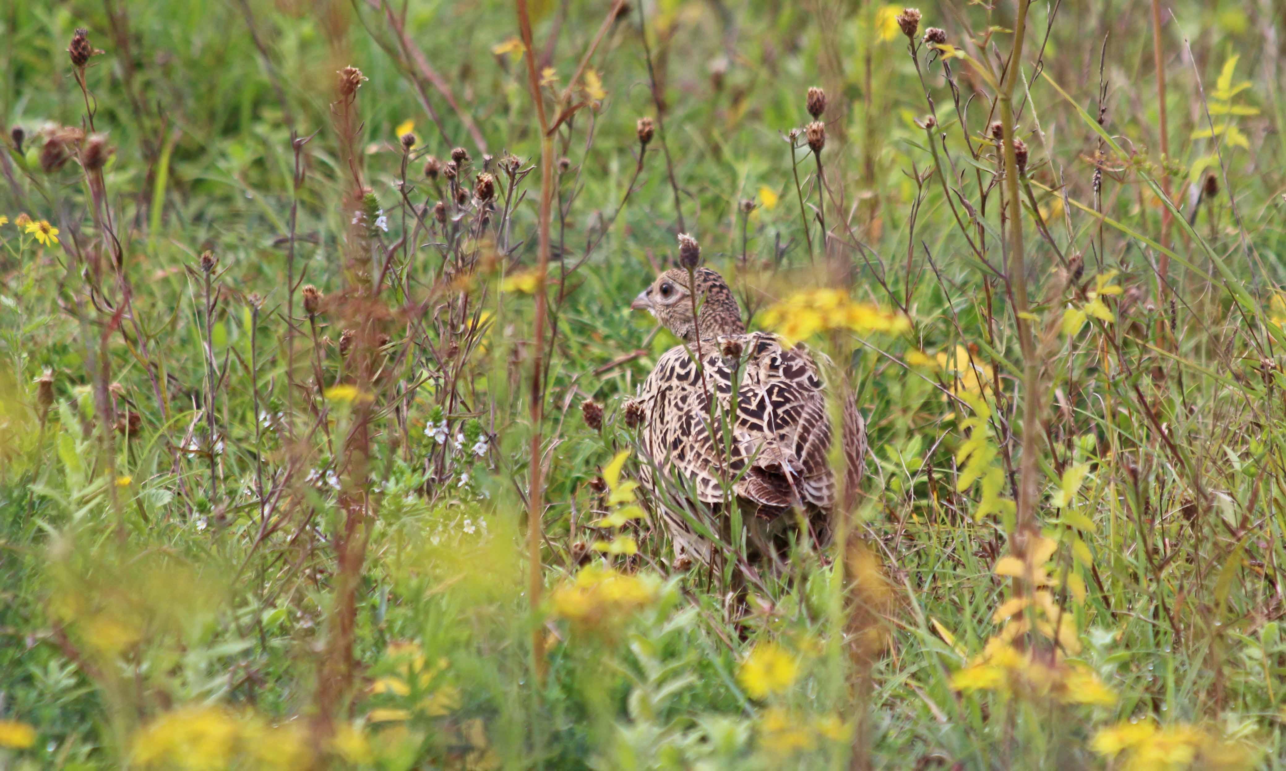 200904 pheasant (6)