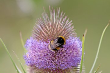 200907 bumblebee and teasel (1)