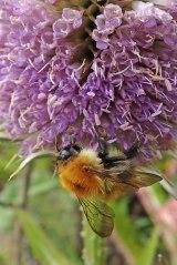 200907 bumblebee and teasel (2)