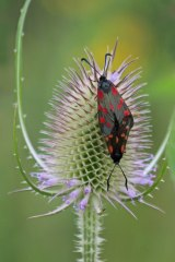 200907 burnet and teasel