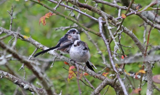 200908 long-tailed tits (1)