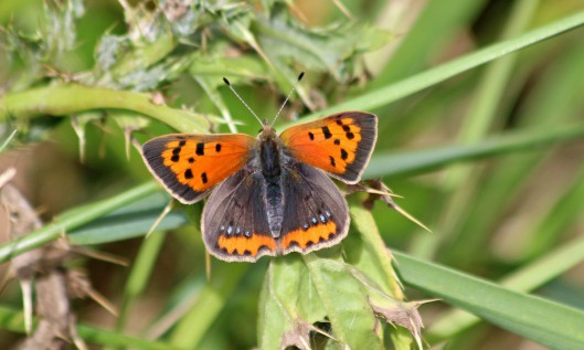 200910 small copper (1)
