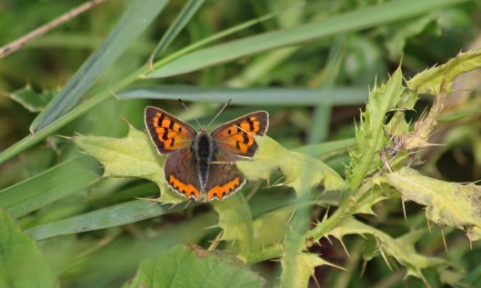 200910 small copper (2)
