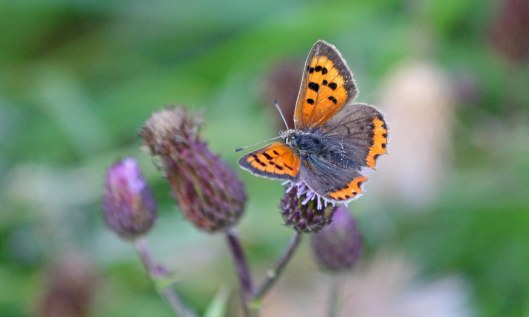 200910 small copper (3)
