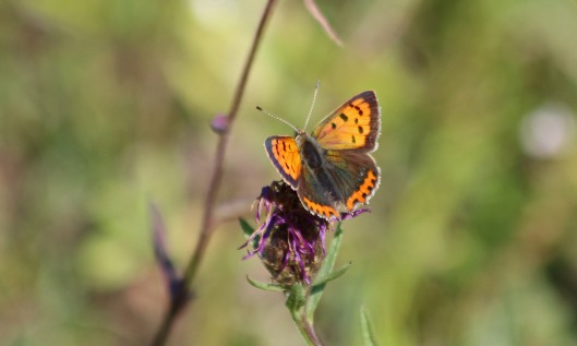 200910 small copper (4)