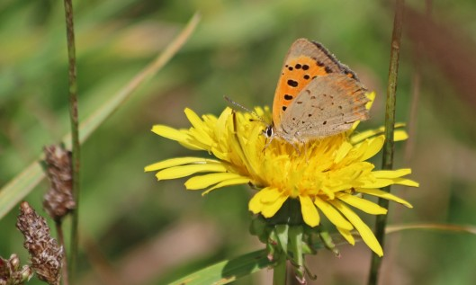200910 small copper (5)
