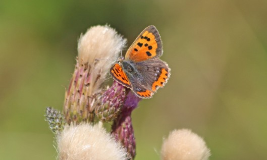 200910 small copper (6)