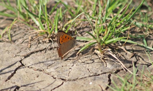 200910 small copper (7)
